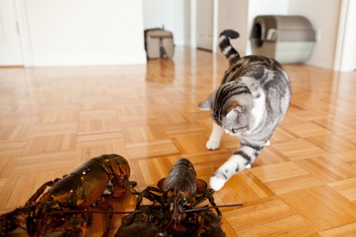 cat-reaches-out-to-lobster