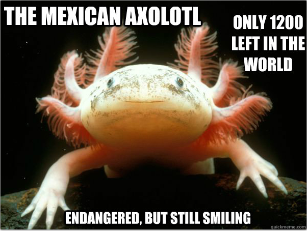 Axolotl - endangered but still smiling