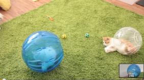 caturday hamster balls